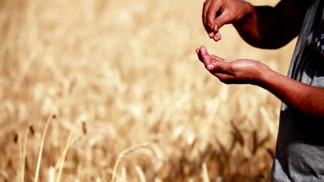 Farmer checking wheat crop plants video