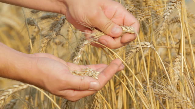 Farmer checking wheat seeds close up shot video