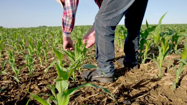 vidéos et rushes de ws ds jeune agriculteur vérification des plantes de maïs - maïs culture