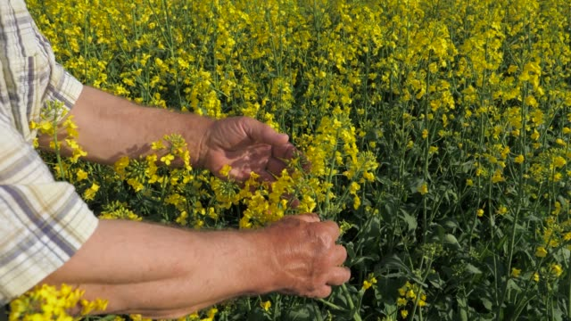 A farmer checks as it blooms and ripens a harvest of rapeseed in the field. video