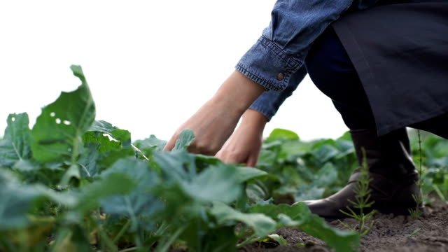 Farmer checks the young beet crop on the field video