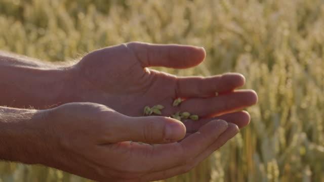 Landwirt prüft Weizen mit Lens-Flares und epische Sonnenuntergang - Schuss auf rot – Video