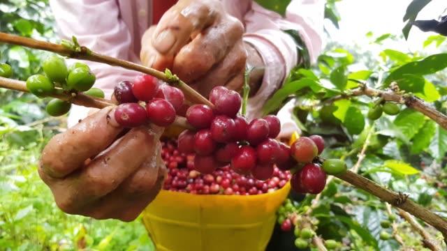 jordbrukare samla kaffe - colombia bildbanksvideor och videomaterial från bakom kulisserna