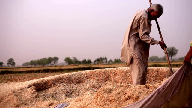 Farmer collecting husk after wheat harvesting