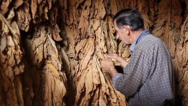 controllo dei produttori di tabacco di asciugatura - nicotina video stock e b–roll