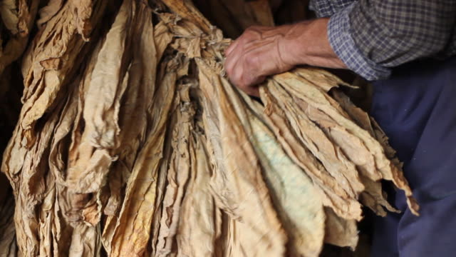 stockvideo's en b-roll-footage met farmer controling of drying tobacco - guy with cigar
