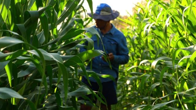 vídeos de stock, filmes e b-roll de campo de milho agricultor - estilo de vida dos abastados