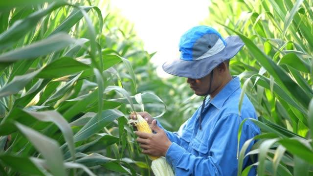 vídeos de stock e filmes b-roll de farmer corn field - etnia