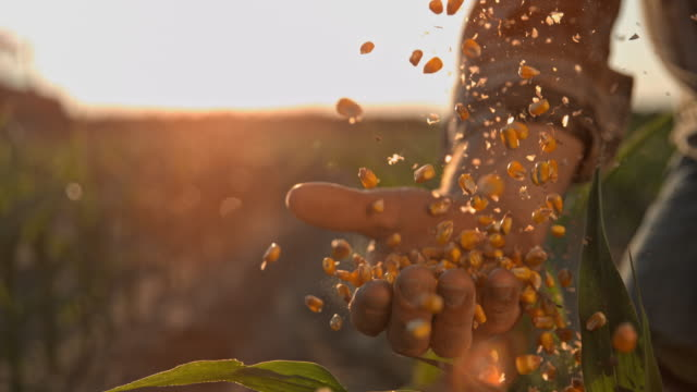 SUPER SLO MO Farmer cupping maize kernels after harvest is done
