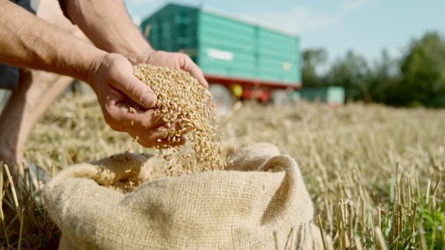 slo mo farmer cupping wheat grains from a sack - gospodarstwo ekologiczne filmów i materiałów b-roll