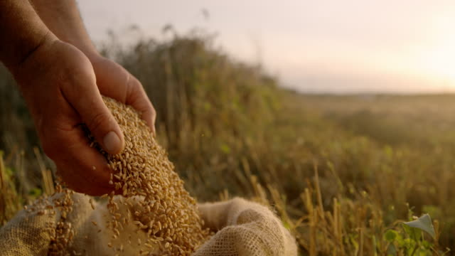 SLO MO Farmer cupping wheat grains on a field at sunset