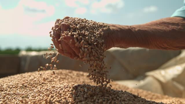 slo mo farmer cupping wheat grains on a trailer - gospodarstwo ekologiczne filmów i materiałów b-roll