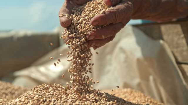 vídeos de stock e filmes b-roll de slo mo farmer cupping wheat grains with both hands - farmer