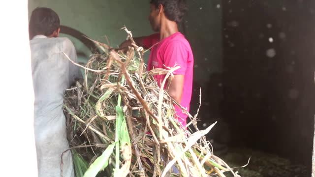 Farmer cutting silage using chaff cutter - video