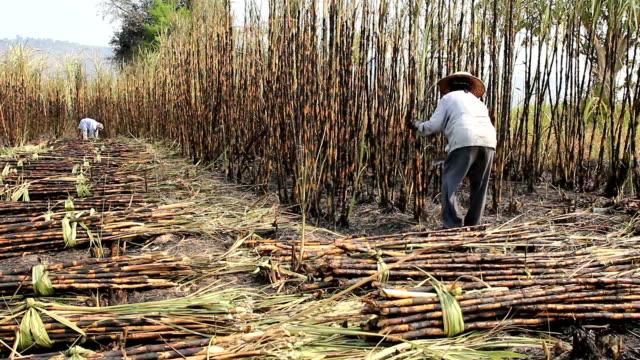 agricoltore tagliare la canna da zucchero - canna da zucchero video stock e b–roll