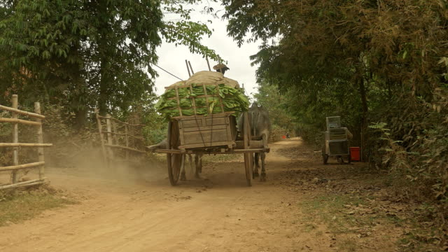 farmer driving an ox cart to carry harvested tobacco leaves on a rural road video