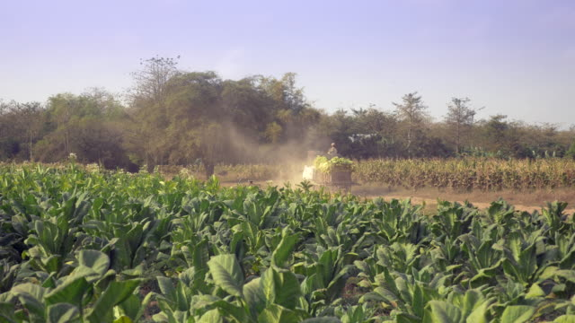 farmer driving an oxcart carrying harvested tobacco leaves on a dusty earth path through tobacco fields - nicotina video stock e b–roll
