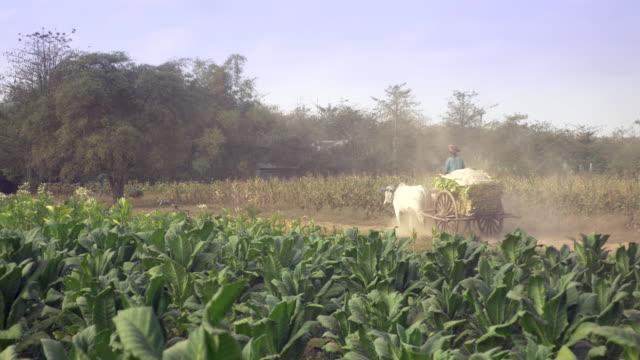 agricoltore alla guida di un carretto trainato che trasporta foglie di tabacco raccolte su un percorso polveroso di terra attraverso i campi di tabacco - nicotina video stock e b–roll