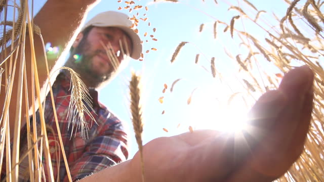 SLO MO Farmer Dropping Wheat Grains video