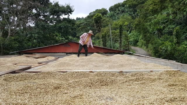 farmer drying the coffee on his farm - coffee farmer video stock e b–roll