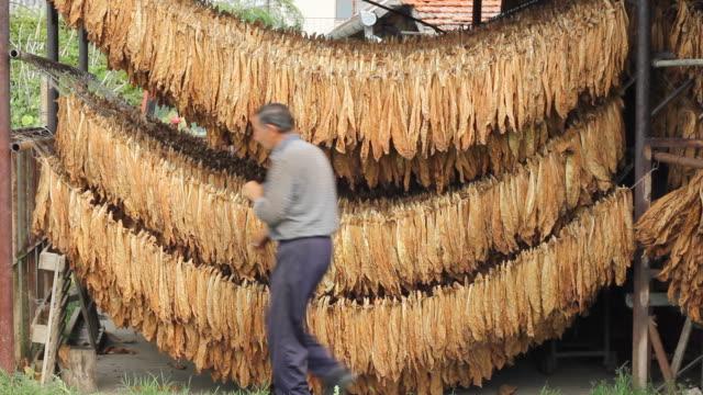 agricoltore asciugatura tabacco - nicotina video stock e b–roll