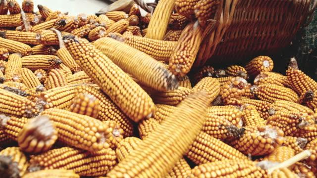 slo mo farmer emptying the basket of corn cobs - kukurydza zea filmów i materiałów b-roll