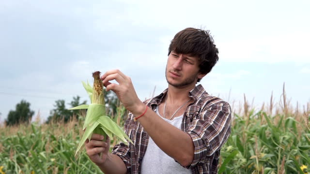 Farmer examines corn on the field - vídeo