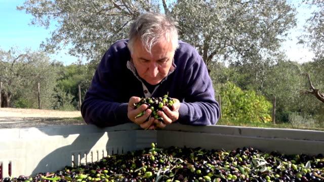 stockvideo's en b-roll-footage met boer onderzoeken van organische olijfoogst en inspectie van de kwaliteit van de boomgaard - olijf