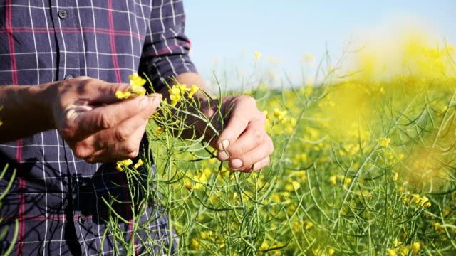 farmer examining rapeseed blooming plants - canola video stock e b–roll