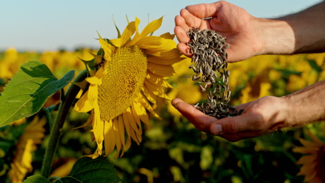 MS Farmer examining sunflower seeds in rural sunflower field