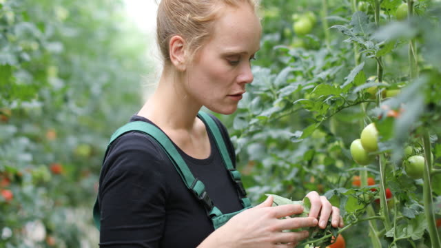 Farmer examining unripe tomatoes in greenhouse video