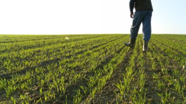 hd :農家調べる若いウィイート - 熟していない点の映像素材/bロール