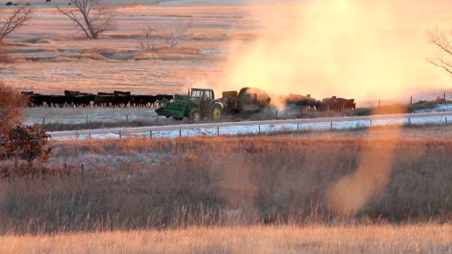 Farmer Feeding Cattle video