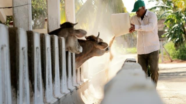 vídeos de stock e filmes b-roll de farmer feeding cows in farm livestock eating food - gado animal doméstico