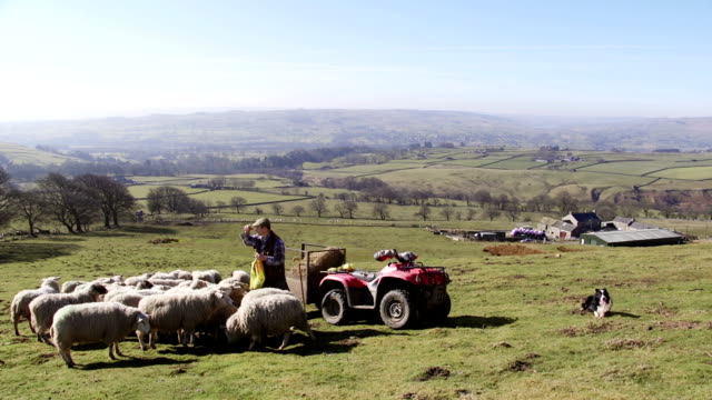 Farmer Feeding the Sheep video