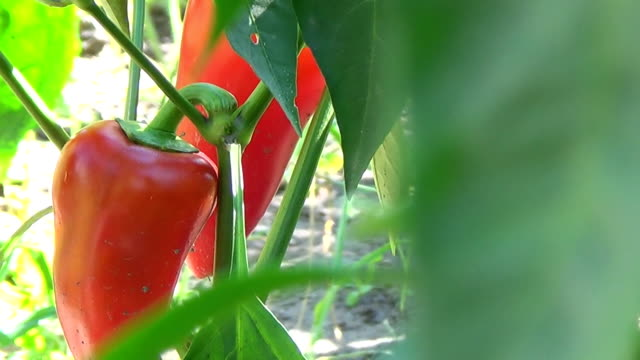 farmer field with ripe red and green pepper harvesting close yn slider. - paprica video stock e b–roll