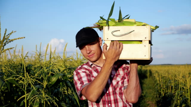Farmer going on the field with a full wooden box of corn Steadicam shot of young farmer going on the field with a full wooden box of corn. Real working process of picking harvest on the organic eco farm, slow motion. rancher stock videos & royalty-free footage