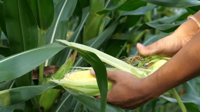 農家の手摘み熟したトウモロコシ - 収穫点の映像素材/bロール