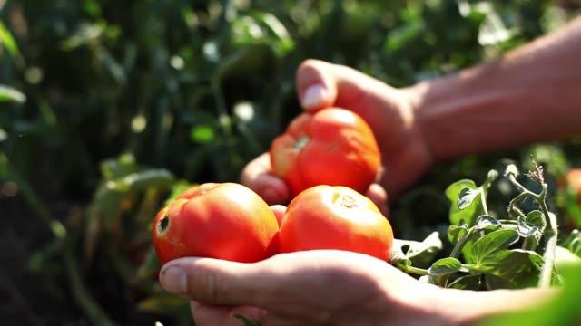 landwirt hand pflücken, reife tomaten im gemüsegarten - tomate stock-videos und b-roll-filmmaterial