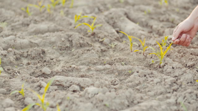 Farmer hand picking up a wheat plant, video
