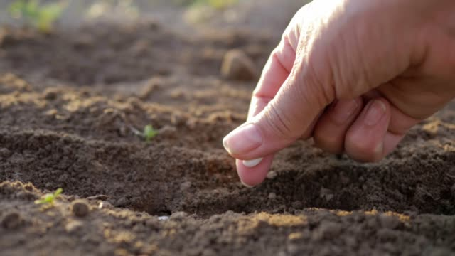 Farmer Hand Planting Seeds In The Ground