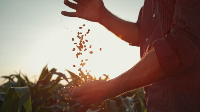 SUPER SLO MO Farmer hands cupping maize kernels at sunset