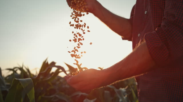 SUPER SLO MO Farmer hands cupping maize kernels in the field at sunset