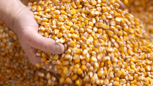 Best Corn Kernels Stock Videos and Royalty-Free Footage - iStock