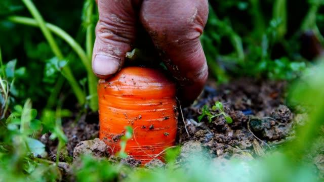 Farmer harvesting carrot in field Farmer harvesting carrot in field carrot stock videos & royalty-free footage