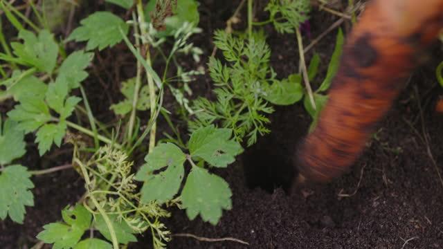 stockvideo's en b-roll-footage met boer die wortelen oogst in de moestuin - groentesoep