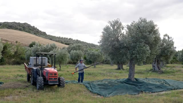 farmer harvesting olives from tree with olive harvesting comb in south of italy - oliva video stock e b–roll