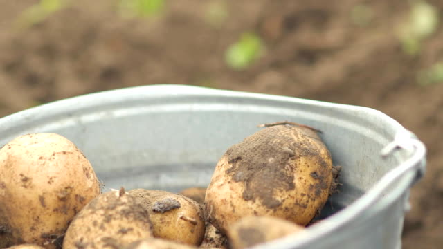 farmer harvesting potatoes in bucket on the field at organic farm. Concept farming, rural lifestyle, healthy eating video