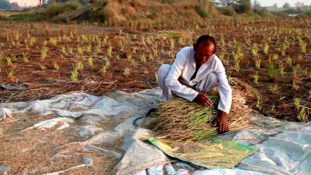 Farmer harvesting rice Senior farmer harvesting rice during sunset. rice cereal plant stock videos & royalty-free footage