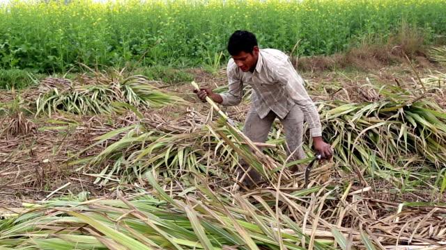 agricoltore raccolta della canna da zucchero vicino campo di senape - canna da zucchero video stock e b–roll